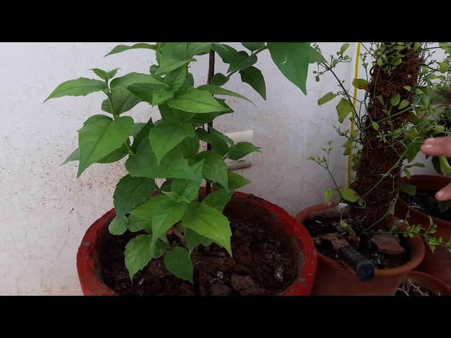 How to grow and care Harsingar plant || Care of Harsingar plant