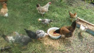 содержание и кормление молодняка кур
