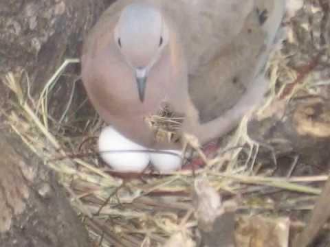 Resultado de imagen para imagen de paloma torcaza en su nido