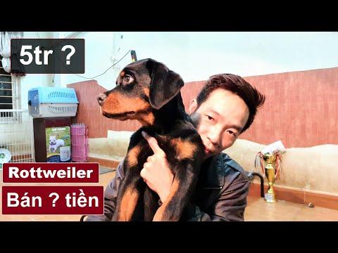 Giá chó Rottweiler con bán bao nhiêu? Tại sao chó giá rẻ giá cao khác nhiều thế?