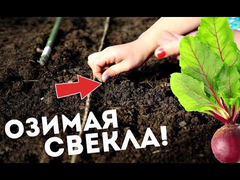 Посадив свеклу под зиму однажды будете всегда так сажать! Как и когда сажать озимую свеклу?   посадить   посадив   однажды   свеклу   свекла   сажать   озимую   озимая   всегда   будете