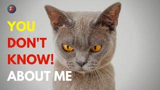 British Shorthair Cat  CHARACTERISTICS and FACTS | Factsoverdose