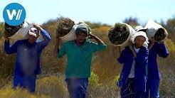 Rooibos, der rote Tee Südafrikas (360° - GEO Reportage)