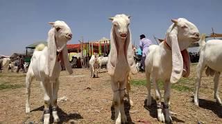 Find the best price Gulabi kamori bakra lovers 2 Gulabi male goats