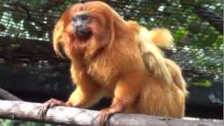 Meet the Golden Lion Tamarin Family at the Palm Beach Zoo