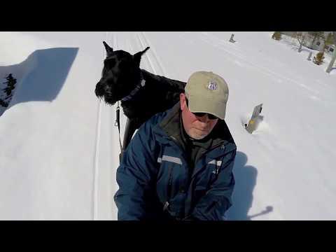 Big dog, Giant Schnauzer, Heidi, goes sledding