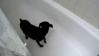 Min Pin Having A Shower