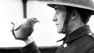 Un pigeon sauve 194 soldats pendant la 1ère Guerre mondiale - HDG #9