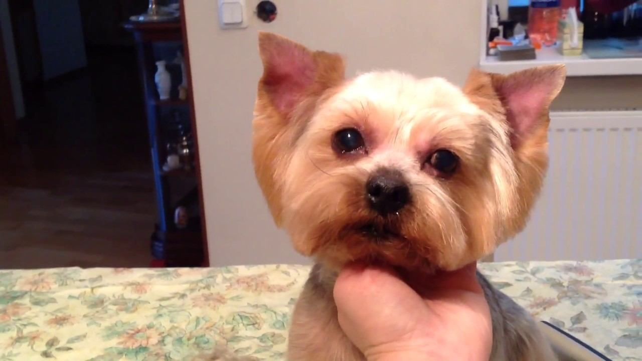Classic Round Face On Yorkie Result Technique Skimming Youtube