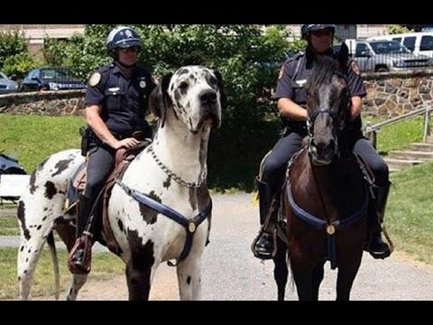 great-dane-gentle-giant---apollo-of-dogs