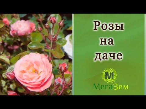 супер роза фото