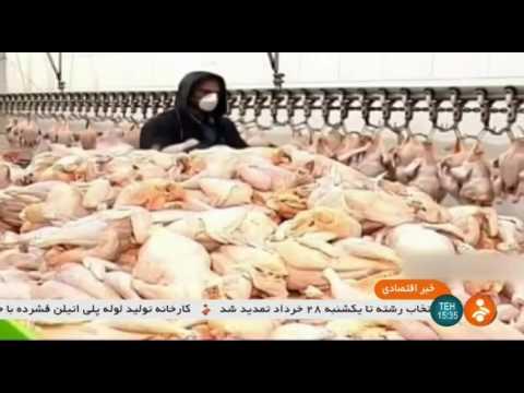 Iran Industrial Chicken farming report, Yazd province گزارشي از وضعيت پرورش مرغ يزد ايران