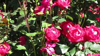 Growing Knockout Roses.