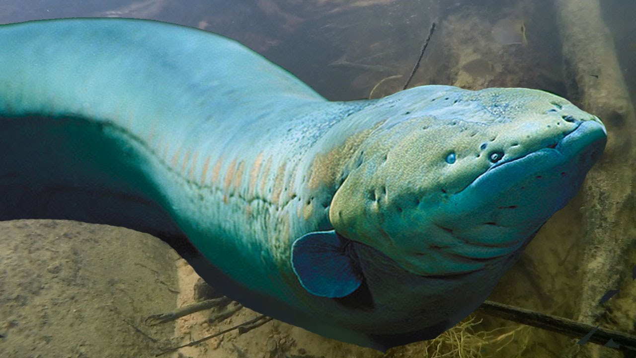 Electric Eel Pictures | Big Deadly Electric Eels Amazon River Monsters Youtube