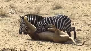 Aslan mı? Zebra mı?