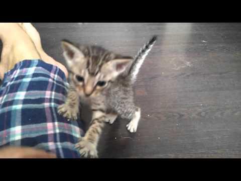 ocicat kitten Amagitsune*RU