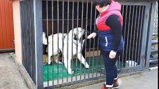 Суровая Кавказская овчарка Армада. Severe Caucasian Shepherd .
