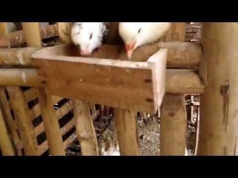 Mô hình nuôi chim bồ câu Pháp hiệu quả tại Bắc Ninh