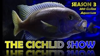 AFRICAN CICHLID PERFECTION - Live Interactive Online Aquarium - The Cichlid Show