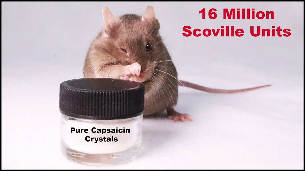 does-the-world-s-spiciest-pure-capsaicin-crystals-deter-mice-mousetrap-monday