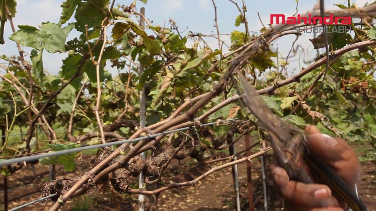 October Pruning Grape Vines Youtube