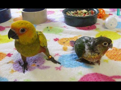 Tasman and Yoshi Conure Buddies — Rainbow Parrots Aviary
