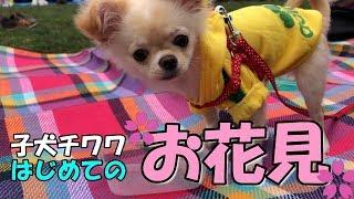 お花見楽しかったね!みるく(*´ω`*) ◇チャンネル登録はこちら https://...