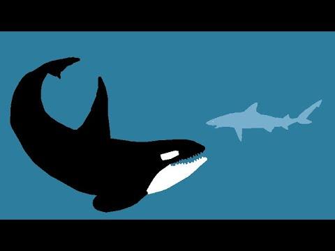 KILLER WHALE VS. SHARK | ANIMATION