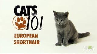 Европейская короткошерстная кошка 101kote.ru Eupean shorthair 101cats
