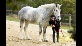 Самые большие лошади в мире  .