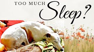 Do Greyhound Dogs Sleep a Lot? [Greyhound Adoption Guides]