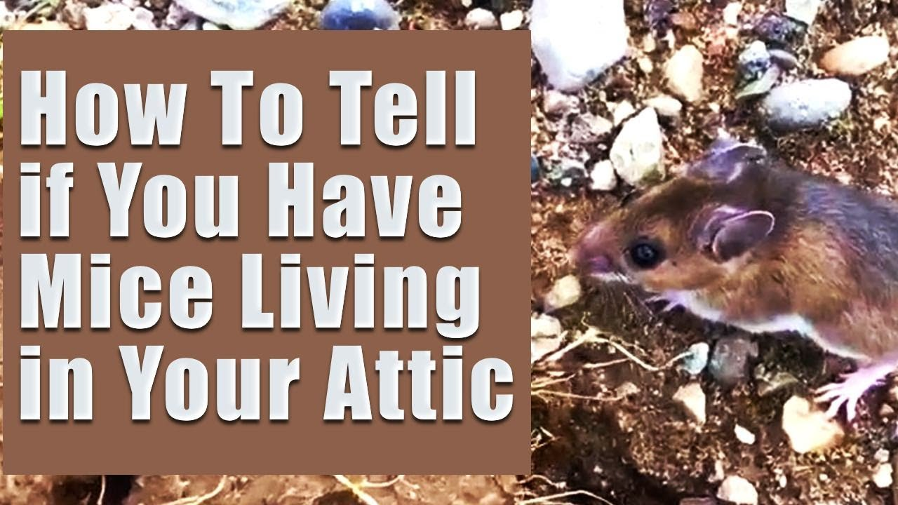 How To Tell If You Have Mice Living In Your Attic
