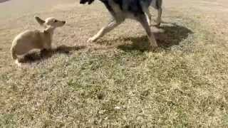Goprohero3+ Dachshund And German Shepherd Fun