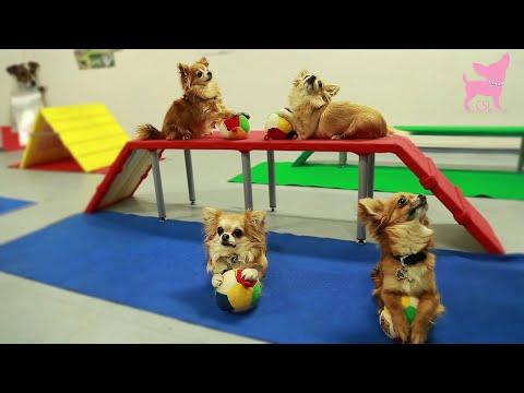 Cute Chihuahua Dog Tricks and Agility
