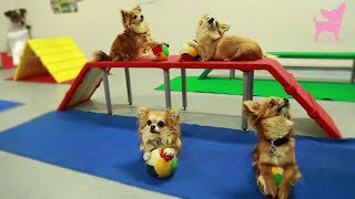 Cute Chihuahua Dog Tricks And Agility
