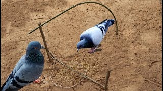 TR Technology: Very Easy making bird trap at my village 2019