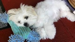 Maltese X Shih Tzu Puppy Falling Asleep