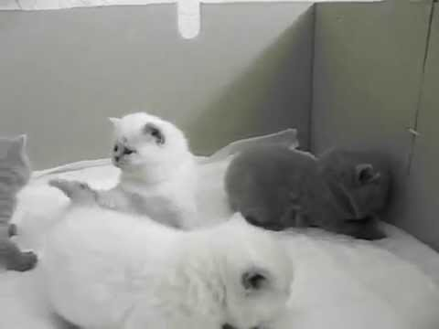 Британские котята. Украина .Житомир +380986933479 - YouTube