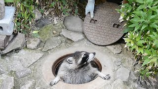 長野市の茶臼山動物園で人気のアライグマ、カールくん。寝床にしているマンホールが大好きで、一直線にダッシュして穴の中へ。しかもちゃんと内側から蓋を閉める器用っぷりがすごいですね!