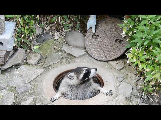 マンホールを「きちょうめんに」開け閉めするアライグマのカール 長野市の茶臼山動物園