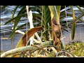 watch he video of Sudden Leaf Drop in Vanda Orchids: Fusarium - a Lethal Fungal Infection of Stem And Roots