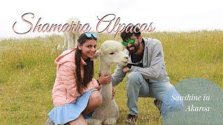 Christchurch | Shamarra Alapacas | Akaroa | Day 7 | Sanshine in New Zealand