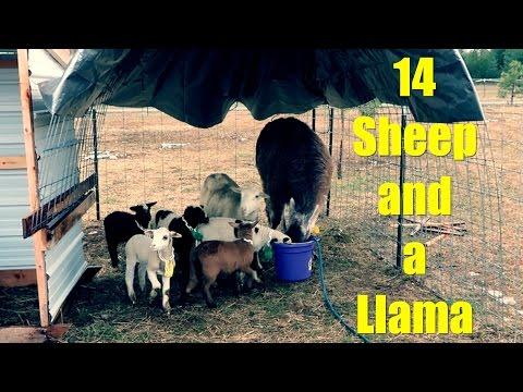 Getting 14 Sheep - and a LLAMA