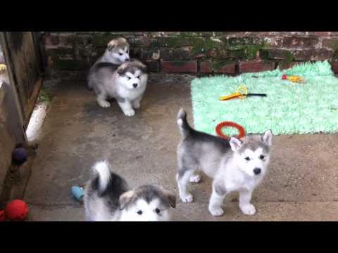 Alaskan Malamute Puppies (5 weeks)