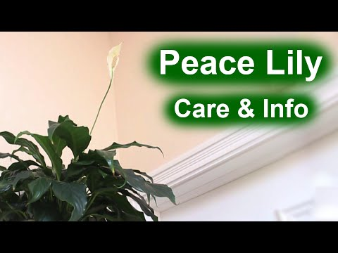 peace lily spathiphyllum care info youtube. Black Bedroom Furniture Sets. Home Design Ideas