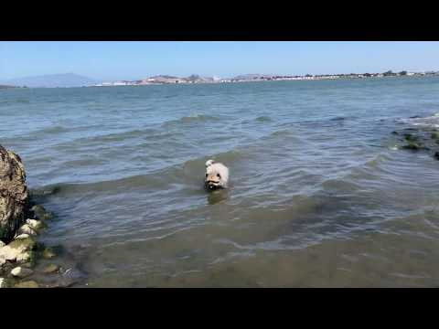 Keeshond in SF Bay