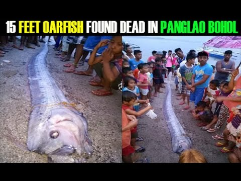 ANOTHER 15 FEET OARFISH FOUND DEAD IN PANGLAO BOHOL