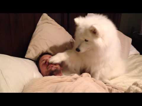 Собака самоед нежно будит хозяина/Samoyed dog gently wakes master up