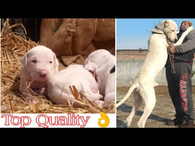 Import Bloodline Top Quality Pakistani Bully puppies for sale || jsk