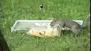 Classic - Very First Squirrel At The Feeder! [backyard Bag Feeder Project]
